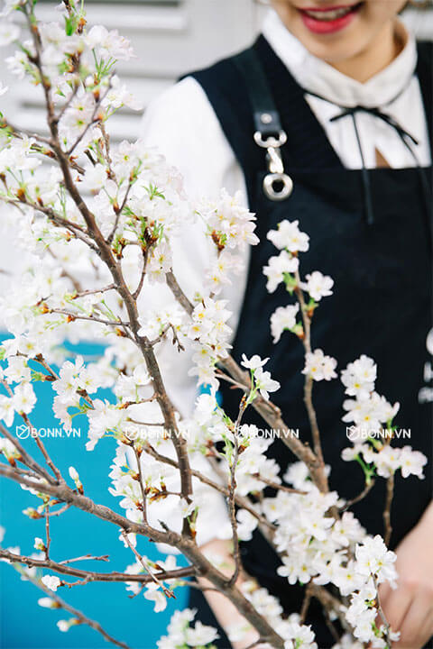 hoa anh dao sakura