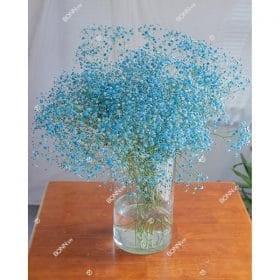 hoa baby xanh duong